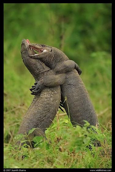 Стих ящерица любви